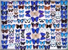 A case from the F.P & A.P. Dodd Collection of Tropical Insects (c.1917) showing blue butterflies from the family Lycaenidae.