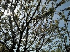 https://flic.kr/p/odEEAx | fiori di ciliegio#3