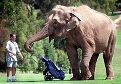 Indisputable Top Tips for Improving Your Golf Swing Ideas. Amazing Top Tips for Improving Your Golf Swing Ideas. Golf Trolley, Golf Carts, Funny Golf Pictures, Golf Etiquette, Funny Elephant, Elephant Pictures, Used Golf Clubs, Golf Simulators, Golfer