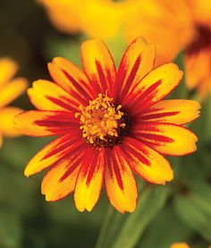 New Annual Flowers - Available in both seeds and plants from the most trusted name in home gardening, Burpee. Find your favorite flower seeds and plants today. Cut Flowers, Colorful Flowers, Beautiful Flowers, Vibrant Colors, Zinnias, Petunias, Flower Seeds, Flower Pots, Burpee Seeds