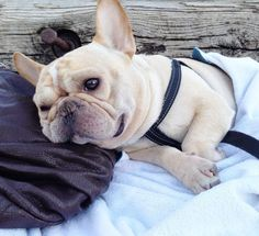 """""""Being awesome is exhausting"""", Romeo, the French Bulldog"""
