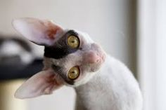 cornish rex a devon rex Exotic Cat Breeds, Kitten Breeds, Exotic Cats, Japanese Bobtail, Pretty Cats, Beautiful Cats, Cool Cats, I Love Cats, Cornish Rex Kitten