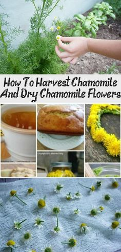 Want to grow, harvest and dry chamomile? Find all the answers to your questions here. It's really easy to harvest chamomile at home. Get Rid Of Dandelions, Chamomile Growing, Homemade Tea, Tall Plants, Bedroom Plants, Yellow Flowers, Gardening Tips, Harvest, Herbalism
