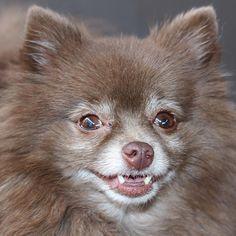 Gisteren blogfoto's gemaakt en Kayla wou ook even poseren #poms #pomstagram #pomeranianlove #pomsofinstagram #pomeranians #chocolatepom #dogs