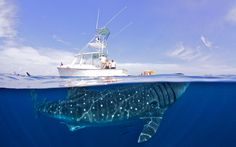A 50-foot-long whale shark dwarfs a 32-foot-long luxury yacht off the coast of Cancun, Mexico, in this over- and underwater shot.