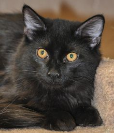 """Domestic Long Hair-black • Young • Male • Small San Gabriel Valley Humane Society San Gabriel, CA We estimate Yayo to be about 5 months old. He is a sweet, handsome, fluffy boy. He currently rooms with the other """"teen"""" boys at the shelter, but is looking for a home and family to call his own"""