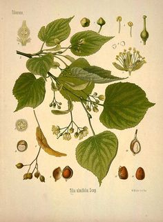 Tilia ulmifolia Scop.,  (Tilia cordata Mill.),  Littleleaf linden - Medicinal Botanical Plants