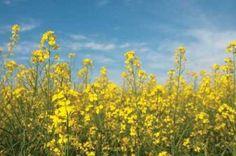 Cuadro Canola Blossoms