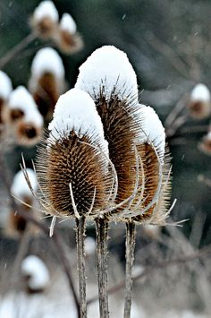 Teasels....Explored highest position #123 | Flickr - Photo Sharing!