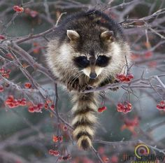 """""""Raccoon"""" ... ~Sherry~  By Jim Ridley Photography"""