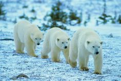 polar bears -- [REPINNED by All Creatures Gift Shop]  Snow?  What snow?