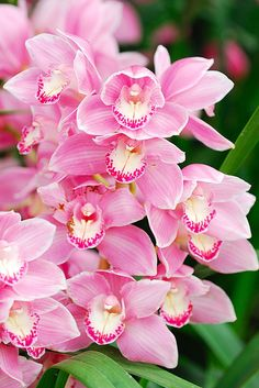 Beautiful orchids... the word orchid comes from the Greek word for testicle, because of the shape of the root