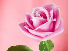 Bilderesultat for rose pink