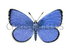 Holly Blue (male) Celastrina argiolus IN001 Illustration | Insect Illustrations by Chris Shields