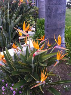 Bird of Paradise ( Strelitzia reginae).  Full sun: 6+ hours direct sun.  Bloom season: spring.  Evergreen tropical with exotic colorful flowers.  Size: 4' H x 4' W.  Growth rate: medium.  Cold hardiness: 30-20 F.  Little pruning required.   Fertilization: spring and summer, do it frequently during growing season.
