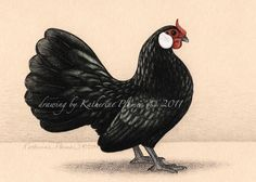 Colored Pencil Drawing by Katherine Plumer: Rosecomb Bantam hen
