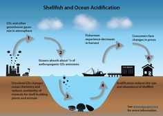 Increasing CO2 emissions cause our oceans to become more acidic, making it harder for shellfish to survive. We can protect our country's fishing industry when we #ActOnClimate. #2degrees LINK: www.epa.gov/cira