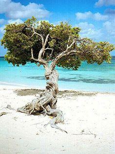 Los árboles de Divi, un sitio común en Aruba, crecen en un cuarenta y cinco ángulo de grado debido al viento que esto constantemente hace volar.