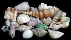"""Sea Shells Mixed Beach Seashells W/net Bag 1lb 1/2 """" to 2"""" Shells 30+ Seashells"""