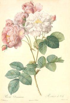 Rosa Damascena Celestiana