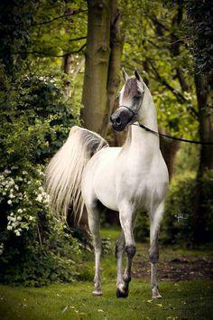 SMA Magic One (PSYTADEL X MAJIDAH BINT PACHA) 2011 grey stallion