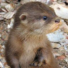 Cute Baby River Otter