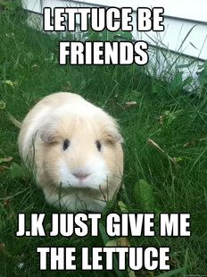 Photos A Meme that Describes Your Guinea Pig