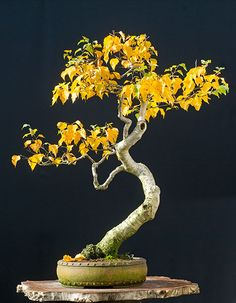 Looks like a Birch bonsai