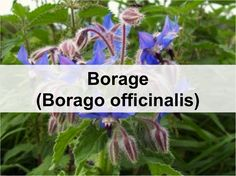 Commonly known as: Borage, Starflower, Bee bread Medical and Culinary uses. Easy to grow in a small herb garden or on a small acreage. Good food for bees and great green manure.