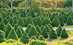 Harriet Sykes' love of topiary conquered a windswept stony hillside and   the ever present fear of box blight. How can you keep your creations in top   condition?