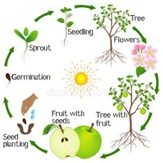 Apple tree life cycle isolated on white background, beautiful illustration. Science For Kids, Science And Nature, Earth For Kids, Tree Life Cycle, Leaf Identification, Tree Seedlings, Apple Theme, Plant Science, Home Vegetable Garden