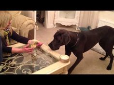 A super cute video of 14 month old Great Dane Hugo meeting 4 day old gosling