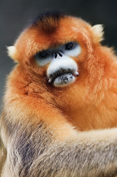Golden Monkey, Qinling Mountains, Shaanxi Province, China; photo by Jeremy Woodhouse