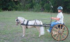 Driving form - Miniature Horse Forum - Lil Beginnings Miniature ...