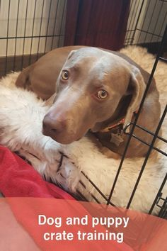 The 1 Thing Not to Do When… #dogtrainer Training Your Puppy, Dog Training Tips, Leash Training, Agility Training, Dog Agility, Training Courses, Weimaraner Puppies, Dogs And Puppies, Corgi Puppies