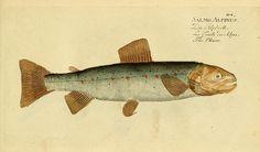 Ichthyologie; ou, Histoire naturelle des poissons :. Berlin,Chez l'auteur,1796.. biodiversitylibrary.org/page/4786777