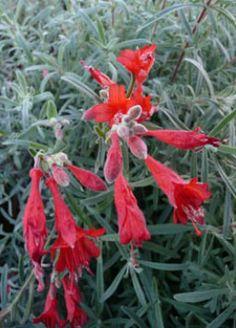 Epilobium canum Familia:Onagraceae Compacta Perenne Época/Floración:VII/X Color floración:Epilobium canum   Altura (cm): 40/60 Anchura (cm): 60/80 Temperatura: -12ºC Zona 8 A pleno sol Muy resistente a la sequedad