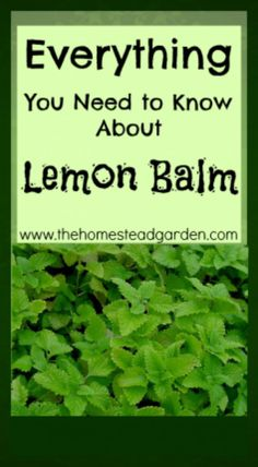 Everything You Need to Know about Lemon Balm. #pioneersettler