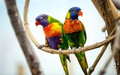 WALLPAPERS HD: Parrot Pair