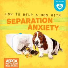 Dogs are our loyal companions, so it's not surprising that they can feel anxious when they're separated from their loved ones. Separation anxiety in dogs is a common problem that can lead to unwanted behaviors, like destructive chewing, howling, or peeing Dog Separation Anxiety, Dog Anxiety, Anxiety Help, Anxiety Tips, Dog Training Classes, Dog Training Tips, Pet Health Insurance, Signs Of Stress, Cool Dog Houses