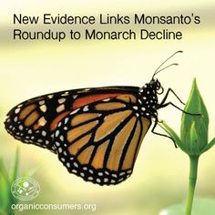 A new report by the Center for Food Safety places much of the blame for the massive decline of monarch butterflies on Monsanto's Roundup herbicide and Roundup Ready crops. Learn more: http://orgcns.org/1DUBXoh  #Monarch #Monsanto