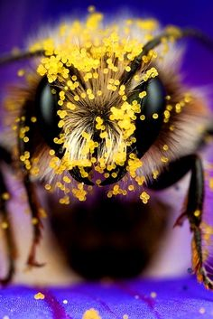 Bee with pollen close up Great photography
