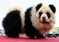 """The big craze happening in China right now is the """"panda dog."""" No, these are not a mix of a panda and a dog, but are actually a breed of dogs called chow chow that are groomed to look like pandas. Hsin Ch'en, a pet store owner in China, is… Panda Chow Chow, Perros Chow Chow, Baby Animals, Funny Animals, Cute Animals, Wild Animals, Dog Hair Dye, Panda Mignon, Tibetan Mastiff"""