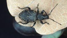 profi tipp dickmaulr ssler larven im herbst bek mpfen hm nematoden parasitieren die larven der. Black Bedroom Furniture Sets. Home Design Ideas