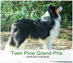 Channing, Scottish Collie. Scotch Collie, Livestock, Grand Prix, Corgi, Animals, Animales, Animaux, Corgis, Animal