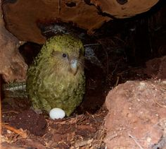 """Booming Kakapo numbers: """"This year (2016) is looking like it could be our biggest year ever."""" Andrew Digby, conservation scientist, Kakapo and Takahe Recovery Team"""