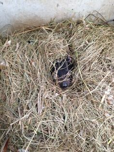 Tasmanian Devils make their beds warmer during winter by pulling extra grass into their beds. We think Savannah has done a great job.
