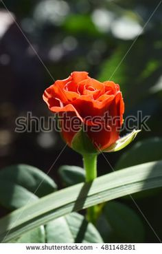 Find Red Rose On Branch Garden stock images in HD and millions of other royalty-free stock photos, illustrations and vectors in the Shutterstock collection. Thousands of new, high-quality pictures added every day. Red Roses, Photo Editing, Royalty Free Stock Photos, Illustration, Garden, Flowers, Plants, Pictures, Image