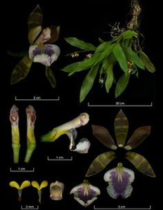 THE GLOBAL ORCHID TAXONOMIC NETWORK Aspasia epidendroides 600x800