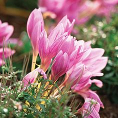olchicums look like fall-blooming crocuses on steroids: The big cup-shaped blooms appear seemingly out of nowhere in fall and create a bright show of pink or white.  Name: Colchicum autumnale